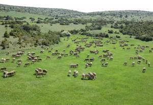 Un troupeau de brebis - Lacaune