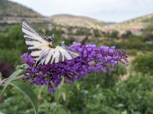 « Flambé », ou papillon Iphiclides podaliriusposé sur fleur de buddleia