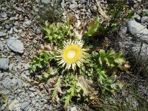 Cardabelle ou carlina acanthifolia