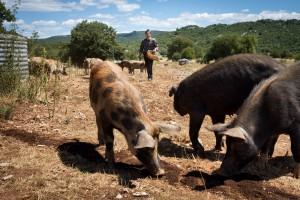 Élevage de cochon de lait biologique - Causse du Larzac