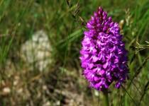 Orchidée sauvage ou orchis